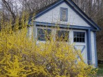 and even more forsythia